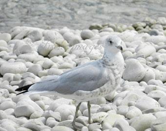 Bird Photography Seagull White Pebble Beach Wall Art Home Decor Photo Print Fine Art Photography