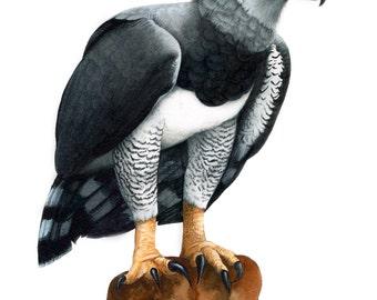 Harpy Eagle Original Watercolor by Mia Bosna