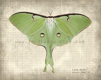 Luna Moth Entomology Print - Vintage Style Original Photograph Illustration - Nature Specimen Distressed Aged Home Decor Science Wall Art