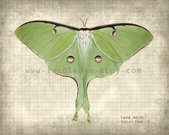 Luna moth scientific illustration - photo#8