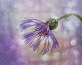 blue thistle flower scotland purple reflections 8 x 10 Fine Art Print
