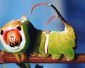 Fine Art Macro Photography Print caterpillar colored pissed