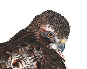 Red Tailed Hawk Watercolor painting - Print of watercolor painting -RTH7615 - 5 by 7 print, bird art, wall art, home decor