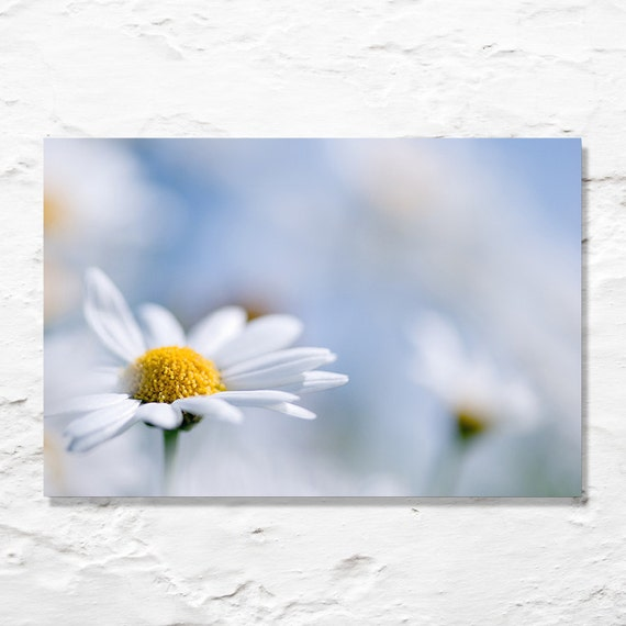 flower photograph daisy photo fine art photo white blue pastel wall art decor spring garden summer