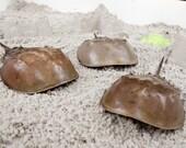 Family of three Large horseshoe crab shells.