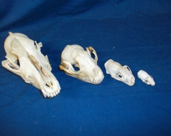4 Real animal bone raccoon coyote mink ermine weird skeleton taxidermy Skull head part