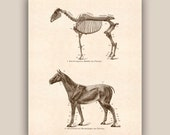 Horse art, Horse skeleton, educational Horse Poster, Horse Anatomy Print Equestrian Prints, country cottage decor, rustic  decor, 11x14