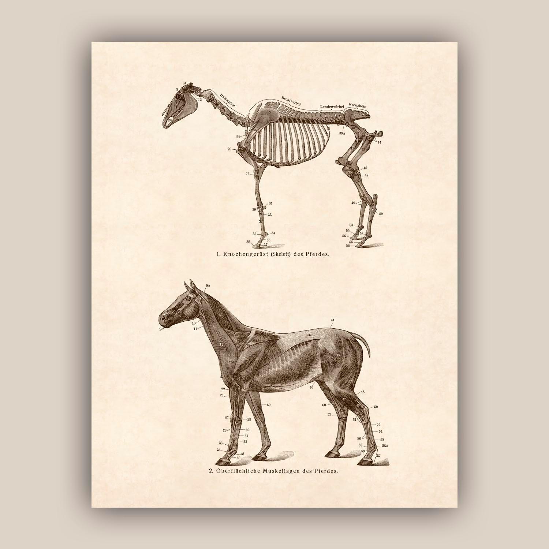Horse Art Horse Skeleton Educational Horse Poster Horse