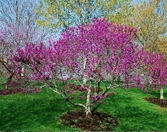 25 Redbud Tree Seeds-1105