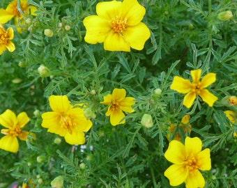 Lemon Gem Marigold Seeds // Signet Marigold