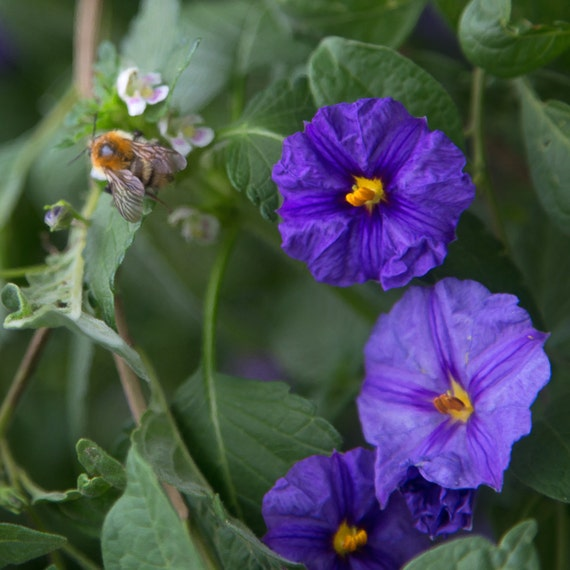 Morning Glory Flowers Exotic Flower Photo By