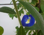 Butterfly Pea Seeds: edible flower