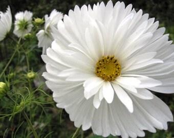 Heirloom 300 Seeds Wild Garden Cosmos Bipinnatus Psyche White Mexican Aster Flower Seeds B4045