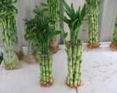 LUCKY BAMBOO Plants 100 Pieces 6 Inch Straight Stalk Rooted Very Healthy For Your Special Arrangements
