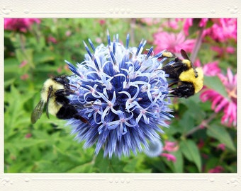 Blue-Violet Globe Thistle with Two Bumble Bees