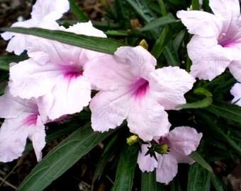 Pink Mexican Petunia Ruella Perennial Plant