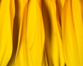 Sunflower Macro Flower Photograph