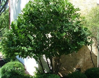 50 Glossy Buckthorn Seeds, Rhamnus frangula