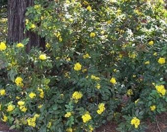 50 Creeping Mahonia Seeds, Mahonia repens