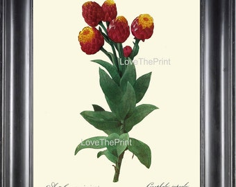 BOTANICAL PRINT Redoute Flower  Botanical Art Print 22 Beautiful Milkweed Plant Red Yellow Garden Nature to Frame Home Decor