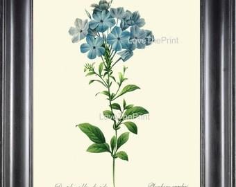 BOTANICAL PRINT Redoute Flower  Botanical Art Print 56 Beautiful Blue Leadwort Plumbago Skyflower Spring Summer Garden Home Decor