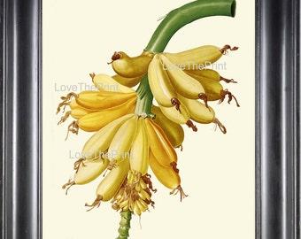 BOTANICAL PRINT Redoute Flower  Botanical Art Print 272 Beautiful Banana Tropical Fruit Tree Branch Summer Garden Home Decor
