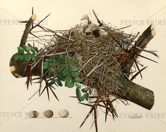 XL Antique Book Plate of a Bird Nest and Eggs 14 x 12 InchesHigh Res printable Wall Art - Commercial Use OK Digital Download