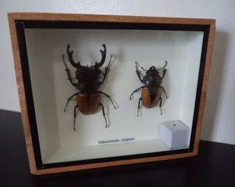 Real Pair Odontolibis Elgans Beetles Boxed Insect DisplayTaxidermy Entomology