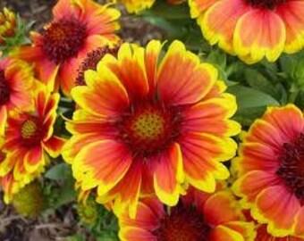 gaillardia flower seeds,422, daisy seeds, orange yellow daisy, flower seeds, gardening