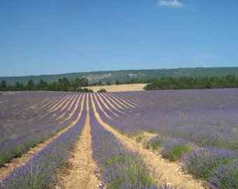 Lavender Holiday to Provence, France in 2017
