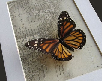 Vintage Map With Real Monarch Danaus Erippus Butterfly in Shadowbox