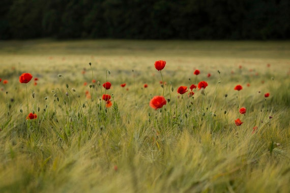 Poppies in corn field, Scotland