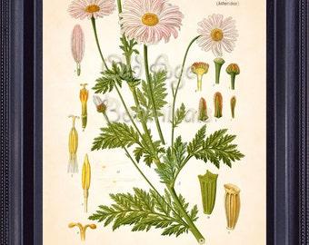 KOHLER 8x10 Botanical Print Vintage Antique Art Plate Chrysanthemum Roseum Web. & Mohr. Pink CHRYSANTHEMUM Flowers Room Wall Decor  BF0727