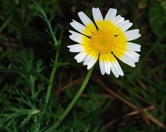 500 *HEIRLOOM* Garland Daisy Seeds