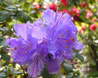 Purple Rhododendron Note Card