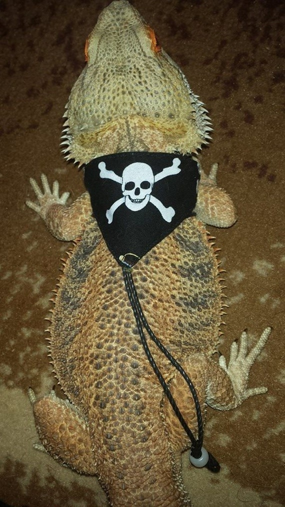 how to put a leash on a bearded dragon