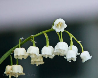 Fine Art Photography -- Lily-of-the-Valley