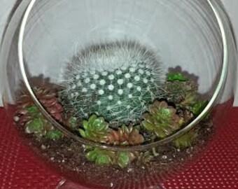 Succulent/Cactus Plant Glass Pedestal Terrarium DIY Complete Kit with Two Plants.