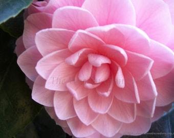 Pink Camellia Flower - Digital Download Image - Desktop Wallpaper - Nature