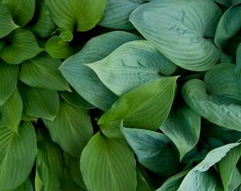 Popular Items For Hosta Leaf On Etsy