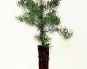 Black Pine Seedlings 12 per order
