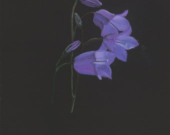 Print of an original pastel drawing of a bluebell wildflower