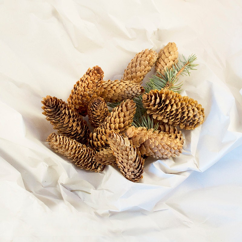 10 long pine cones norway spruce pine cones free shipping for Long pine cones