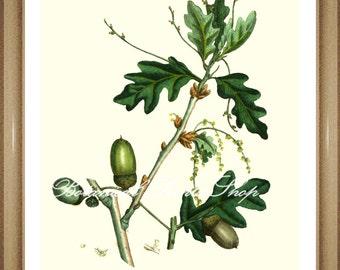 """Tree Print. Oak Tree.  Acorn.  Botanical Tree Print. 8x10"""" 11x14"""""""