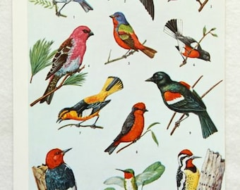 Vintage BIRDS Of North America Illustration Original Print - 1950s