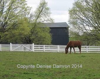 Kentucky - Horse grazing on a Kentucky farm