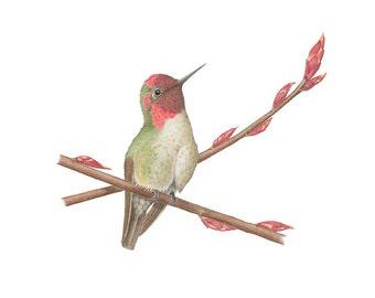 Winter Wait: Anna's Hummingbird on Red Currant