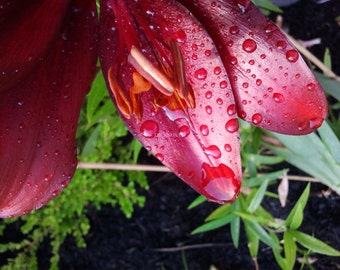 Lily Garden Flower Photogragh Art Print  detail