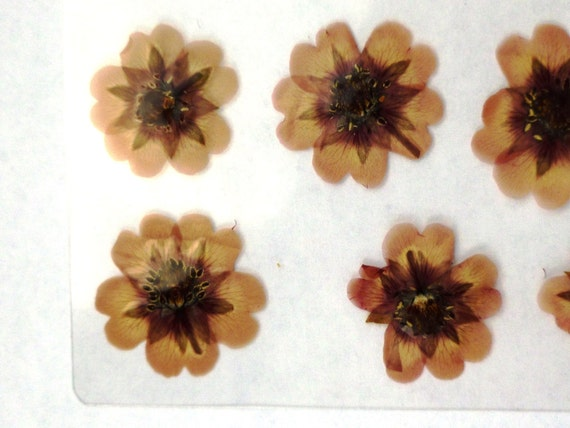 Laminated Pressed Flowers ~ Pressed laminated real flowers mauve center and tips