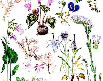 Blue Pimpernal, Horned Rampion, Sea Lavender - 1988 Vintage Botanical Book Plate Print p 33